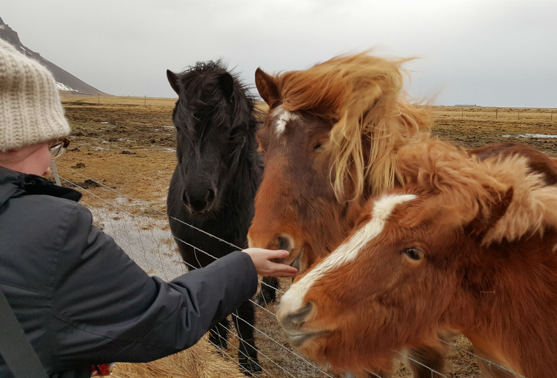 girl with hat feeding Icelandic horses in iceland