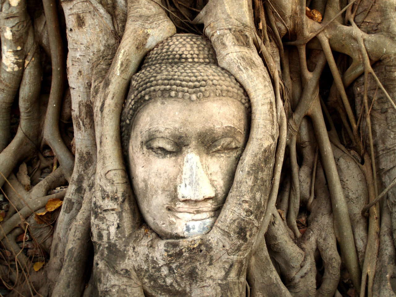 buddah face statue in roots of a tree thailand